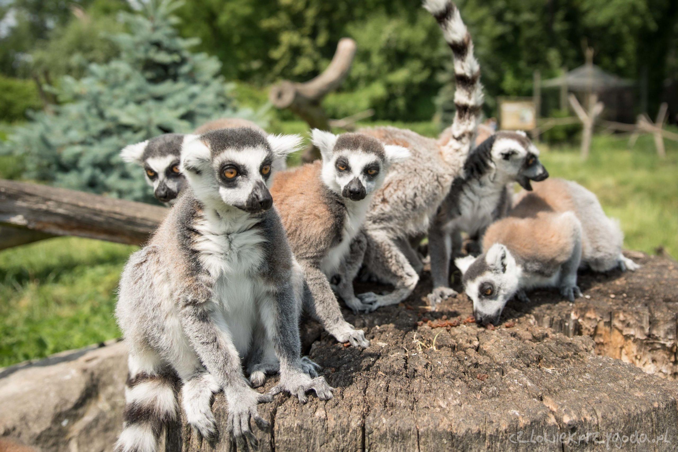 Lemury na Wyspie Bolko